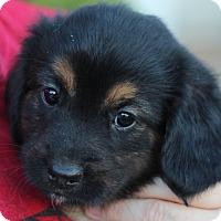 Adopt A Pet :: Cassie's Pup- KitKat - Romeoville, IL