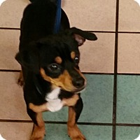 Adopt A Pet :: Butch Cassidy - Las Vegas, NV