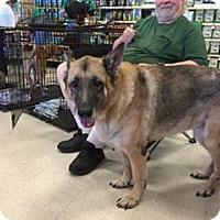 German Shepherd Dog Dog for adoption in Lithia, Florida - SWEETIE-15