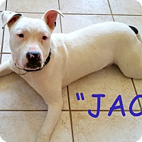 American Bulldog Mix Puppy for adoption in Brandy Station, Virginia - JACK
