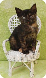 Domestic Shorthair Kitten for adoption in Elkhorn, Wisconsin - Savannah