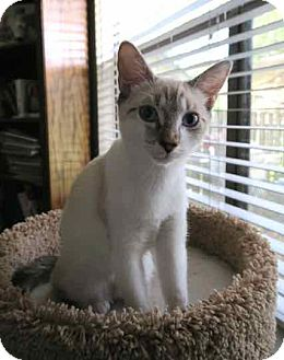 Siamese Cat for adoption in Austin, Texas - Sasha V
