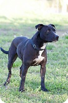 Pit Bull Terrier/Labrador Retriever Mix Dog for adoption in Broken Arrow, Oklahoma - Lulu