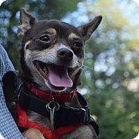 Chihuahua Dog for adoption in Washington, D.C. - Chiquita (Has Application)