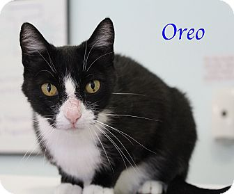Domestic Shorthair Cat for adoption in Bradenton, Florida - Oreo