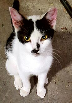Domestic Shorthair Cat for adoption in Chesapeake, Virginia - Preston
