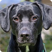 Labrador Retriever Mix Dog for adoption in Asheville, North Carolina - Rondo