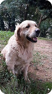 Golden Retriever Dog for adoption in Washington, D.C. - Harry
