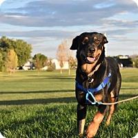 Labrador Retriever/Rottweiler Mix Dog for adoption in Boulder, Colorado - Amos