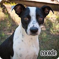 Adopt A Pet :: Cookie - Plano, TX