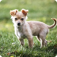 Chihuahua Mix Puppy for adoption in Shakopee, Minnesota - Merry D3387