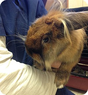 Lop-Eared Mix for adoption in Hendersonville, North Carolina - Coco
