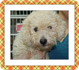Bichon Frise Dog for adoption in Tulsa, Oklahoma - Cruiser - S. TX