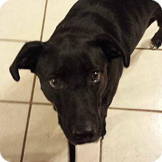 Labrador Retriever Mix Dog for adoption in Springfield, Missouri - Gemma