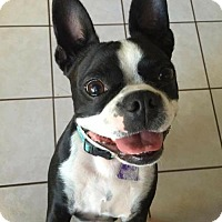 Boston Terrier Dog for adoption in Fort Lauderdale, Florida - Boston Chloe