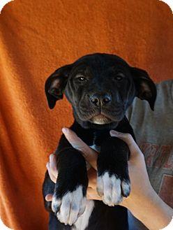 Labrador Retriever/German Shorthaired Pointer Mix Puppy for adoption in Oviedo, Florida - Tara