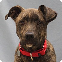 Adopt A Pet :: Snickers - Naperville, IL