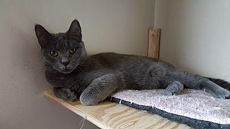 Domestic Shorthair Cat for adoption in Pottstown, Pennsylvania - Molly