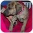 Photo 2 - Shepherd (Unknown Type)/Plott Hound Mix Puppy for adoption in Broomfield, Colorado - Harriet