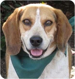 Beagle Dog for adoption in Encinitas, California - Rider