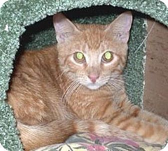Domestic Shorthair Cat for adoption in Miami, Florida - Red