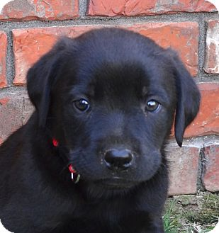 Labrador Retriever/Rottweiler Mix Puppy for adoption in Westport, Connecticut - *Landon - PENDING