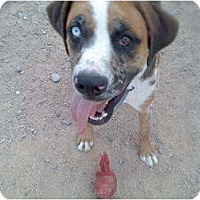 Adopt A Pet :: Bruno - Thatcher, AZ