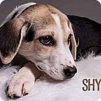 Adopt A Pet :: Shylo - Louisville, KY
