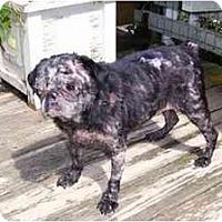 Adopt A Pet :: Cleo-NY - Mays Landing, NJ