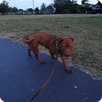 Adopt A Pet :: Lucy - Lebanon, CT