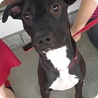 Adopt A Pet :: Shadow - Pompton Lakes, NJ