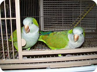 Parakeet - Quaker for adoption in Tampa, Florida - Baby and Peanut