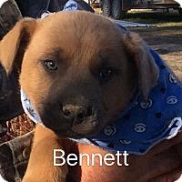 Adopt A Pet :: Bennett - Buffalo, NY