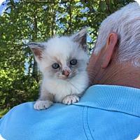Adopt A Pet :: Loka - Washington, DC
