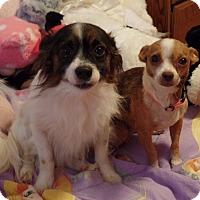 Adopt A Pet :: Macy - Aurora, IL