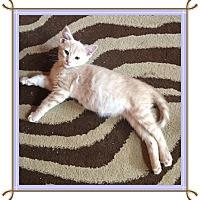 Adopt A Pet :: Leo - Mt. Prospect, IL