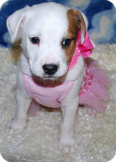 Australian Shepherd/Border Collie Mix Puppy for adoption in Waupaca, Wisconsin - Pudgey