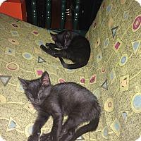 Domestic Shorthair Kitten for adoption in Carlisle, Pennsylvania - Bertie