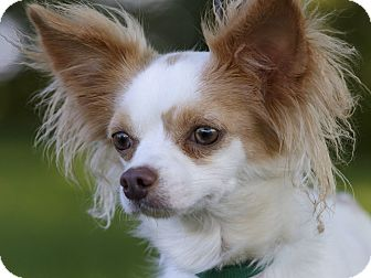 Papillon Dog for adoption in Ile-Perrot, Quebec - FLICK