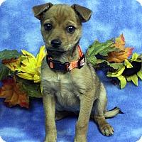 Adopt A Pet :: SHELLI - Westminster, CO