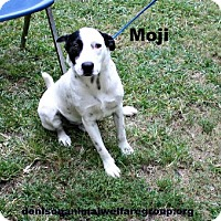 Adopt A Pet :: Moji - Denison, TX