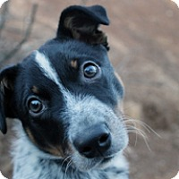 Adopt A Pet :: Bo - Jamestown, CA