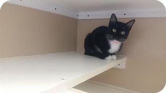 Domestic Mediumhair Cat for adoption in Cumming, Georgia - Chloe