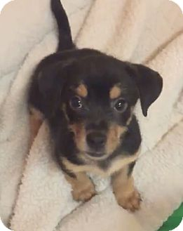 Terrier (Unknown Type, Small) Mix Puppy for adoption in Boca Raton, Florida - Bailey