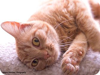 Domestic Shorthair Kitten for adoption in Huntsville, Alabama - Ginger Snap
