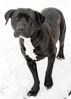 Labrador Retriever Mix Dog for adoption in Harrison, New York - Petey