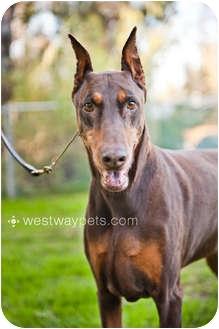 Doberman Pinscher Dog for adoption in Santee, California - Jonas