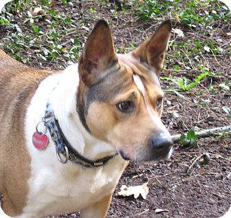 Salem, OR - Basenji/Pit Bull Terrier Mix. Meet Cicily a Dog for ...