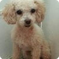 Adopt A Pet :: AMBER - Atascadero, CA