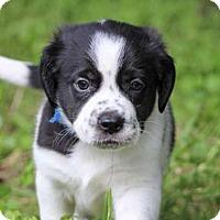 Adopt A Pet :: Thunder - Austin, TX